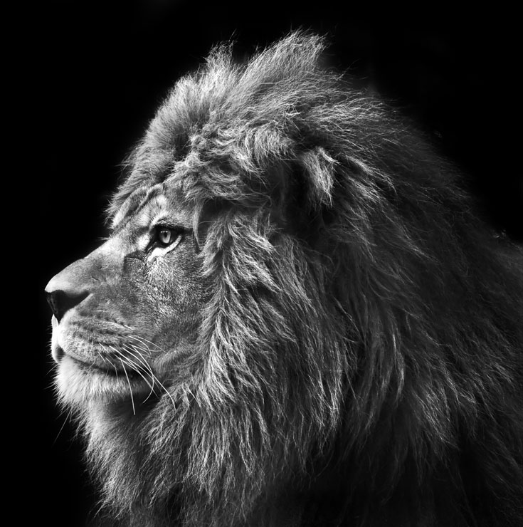 Black And White Lion Face Tumblr